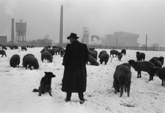 Schafherde im Schnee, im Hintergrund Zeche Graf Schwerin